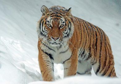 Tiger Names: 170 A-Z Names for A Tiger