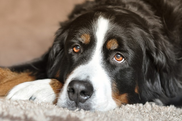 Bernese Mountain Dogs: all you need to know