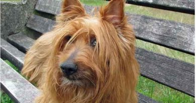 Terriers That Don't Shed Much (And 3 That Sheds!) - Terriers dog breeds