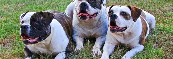 American Bulldog - American Bulldog mixed with pitbull