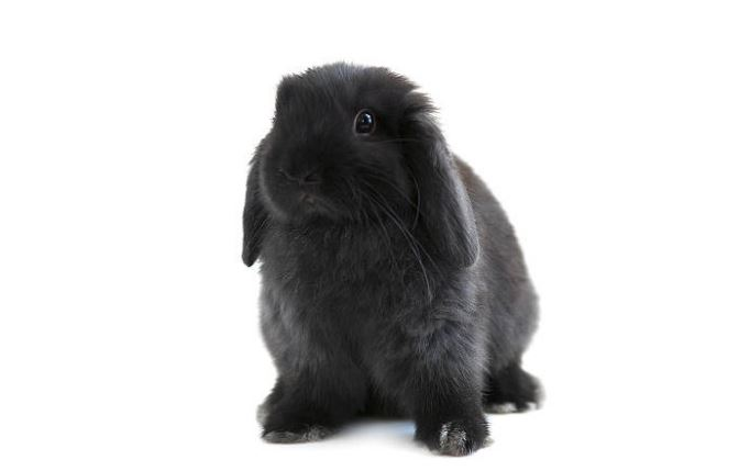 American Fuzzy Lop Black Rabbit