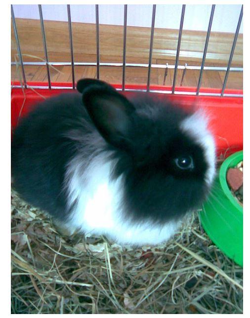 Angora satin Black Rabbit