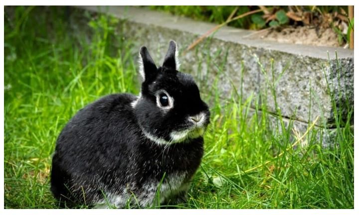 Dwarf from the Netherlands Black Rabbit