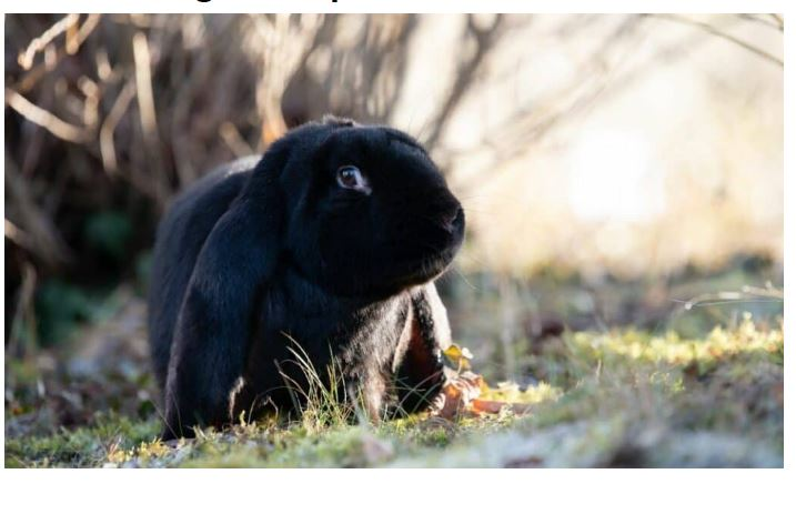 English Lop Black Rabbit