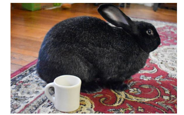 Flemish Giant or monster Black Rabbit