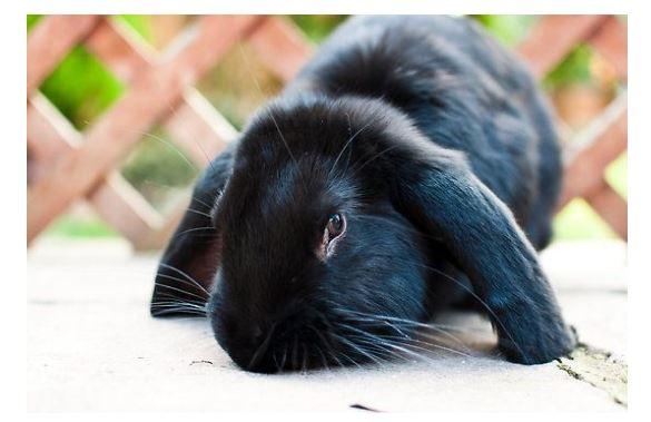 French Lop Black Rabbit