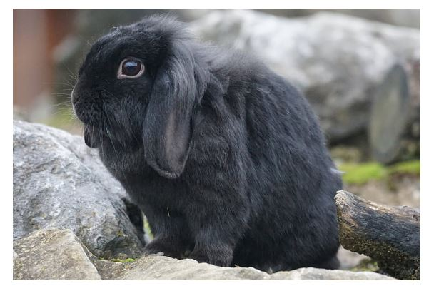 Holland Lop Black Rabbit