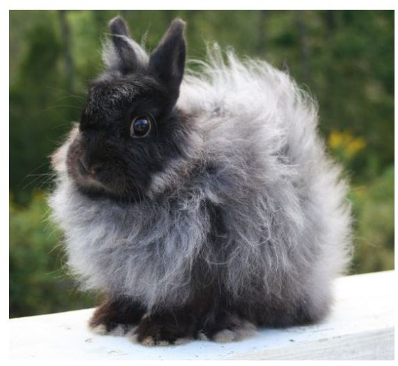 Jersey Wooly Black Rabbit