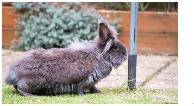 Lionhead Black Rabbit