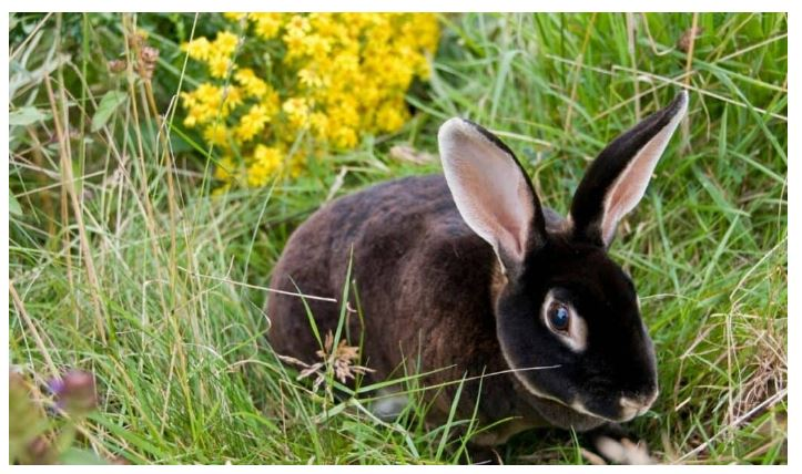 Mini Rex Black Rabbit