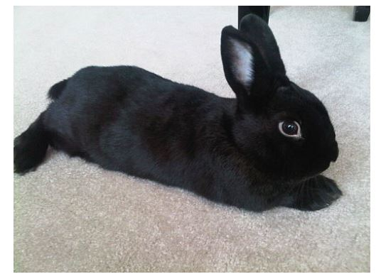Mini satin Black Rabbit