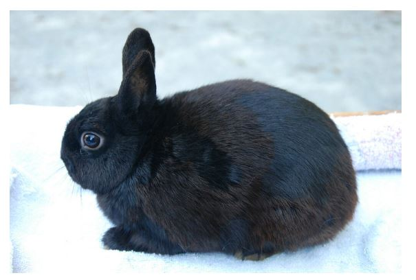 Polish Black Rabbit