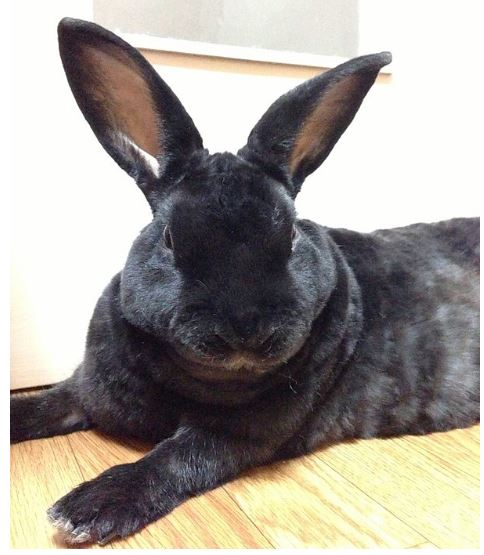 Rex Black Rabbit