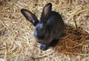 Beautiful Black Rabbit Breeds