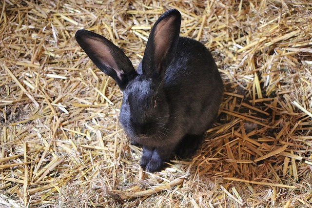 Beautiful Black Rabbit Breeds