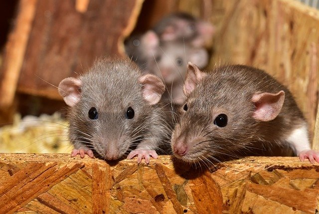 DO RATS LIVE ALONE