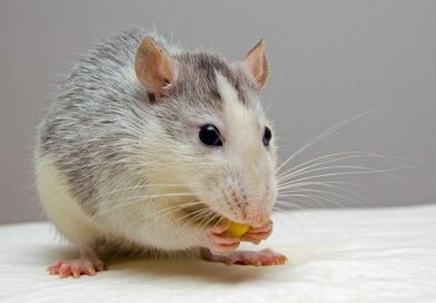 where does rat live